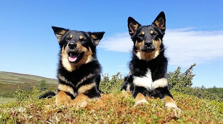 Svenska rasklubben för Lapsk Vallhund