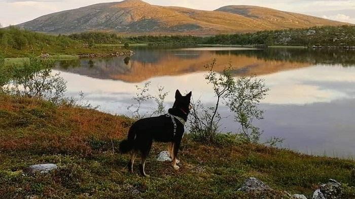 SRLV  Svenska Rasklubben för Lapsk Vallhund